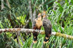 Hoatzin ( Opisthocomus hoazin ) (Pito-pito) Tags: nikon nikond750 nikkor tamron tamron150600 animal animaux wild wildlife oiseau bird ave ornithologie ornithology hoatzin hoazin hoazinhupp opisthocomushoazin ecuador equateur amazonia amazonie amazoniequatorienne jungle river cuyabeno