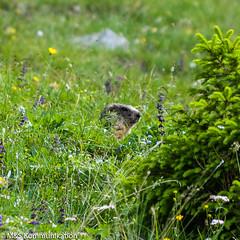 Murmeltier in Almwiese aufgenommen am Plattkofel in Sdtirol - Marmot in a mountain pasture photographed at the Plattkofel in South Tyrol (klausmoseleit) Tags: jahreszeit grden alpen sdtirol sommer orte castelrotto trentinoaltoadige italien it