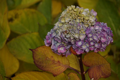 Hortensia or Hydrangea end of November (na_photographs) Tags: blhen blte blossom colors