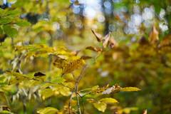 DSC00689 (gabriella.lavati) Tags: sony a6000 schneider kreuznach xenon edixareflexversion m42 50mmf19 manualfocus manual mflens nature spring sesoned color forest wood leaves bokeh bokehdream