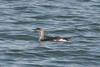 Red-throated Loon (Delta Naturalists Casual Birding) Tags: 201205 blaine dncb