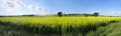 Canola (boombana) Tags: canola 2016 rapeseed field