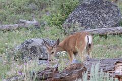 Mule deer (Odocoileus hemionus) (RonW's Nature Photography) Tags: mule deer odocoileushemionus odocoileus hemionus mammal mammals usa us unitesstates yellowstonenp yellowstone animal wildlife nature canon 7dii 100400ii