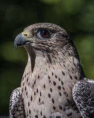 Portrait of Cleo (Fred Roe) Tags: lca71d7334 nikond7100 nikkorafs80400mmf4556ged nature wildlife falcon raptor birds birding birdwatcher birdwatching fortwashingtonsp