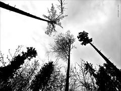 himmelwärts ... (aNNa schramm) Tags: bäume blackwhite schwarzweis perspektive himmel wald bw sw wolken
