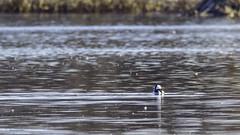 Petit Garrot (yveshebert) Tags: birds oiseaux oiseauxduquébec outaouais ottawariver parcnationaldeplaisance plongeur plaisance17