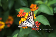 #27 Roadside (belincs) Tags: 116picturesin2016 2016 croatia june butterfly holiday insect swallowtail