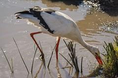Foraging (brev99) Tags: perfecteffects10 bird tulsazoo nikviveza luminar d7100 tamron180f35 highqualityanimals ngc