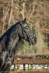 Bella-Donna (Roy Debets) Tags: fries fris frisian paard paarden equine