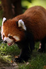 Red panda (Alienture) Tags: red pandaanimals wallpapers pets animals