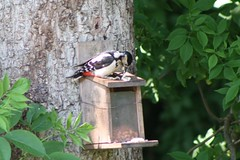 eating up (brinrock) Tags: peanuts greatspottedwoodpecker