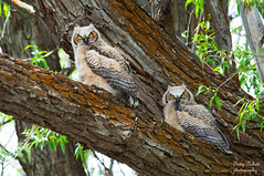 great-horned-owl-...babies (Pattys-photos) Tags: greathornedowl camaswildlifemanagementareaidaho