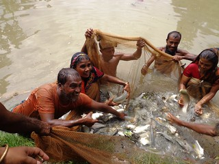 Small-scale fish farmers harvesting in Patuakhali, Bangladesh. Photo by Md Masudur Rahaman, 2012.