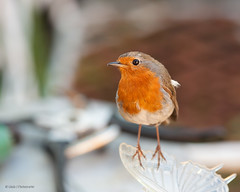 uk summer reflection eye nature robin birds canon garden bokeh wildlife sigma d500 128 7020