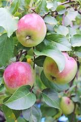 Crispy Fresh (bigbrowneyez) Tags: food nature leaves fruit juicy sweet branches tasty natura delicious crispy dolce apples albero edible mele appletree rosy bello frutti crispyfresh