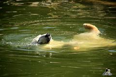 entspannen :-) (Fruehlingsstern) Tags: polarbear puma aika waschbr eisbaer baribal tonja stachelschwein