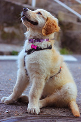 Aria (KaisPhotography) Tags: dog pet como me canon puppy 50mm golden 28mm adorable 85mm sigma lo retriever que perro linda cachorro perros 70200 f4 mascotas samyang 550d achuchable