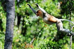 Nasique (Harfang.) Tags: france nature nikon borneo singe singes malaisie malaysie nasique harfang nosetto