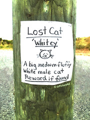 The Lost Cat (Steve Taylor (Photography)) Tags: white male cat poster lost big sticker missing tears whitey crying fluffy medium reward find disappeared iffound nowheretobefound dfisappeared