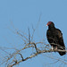 Turkey Vulture...#4