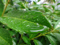 (le-topographe) Tags: pluie goutte feuille