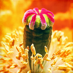 the head that wears a crown (1crzqbn) Tags: pink sunlight flower color macro texture nature square bokeh 7d poppy happyhumpday hbw bokehwednesday 1crzqbn vision:food=055 theheadthatwearsacrown excitedtoseeyou
