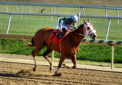 2012-11-16 (38) r1 Yomar Ortiz on #7 Nolita (JLeeFleenor) Tags: horses caballo cheval photography md photos uma maryland cal jockey chestnut horseracing jinete cavallo cavalo pferd equestrian kuda alogo equine hest thoroughbreds soos hevonen cuddy paard cavall kon koin laurelpark  jokey fantino hst ceffyl  jquei  ko faras hestur  perd ngi thoroughbredracing  konj    capall beygir yarraman dokej rennreiter  pfeerd marylandhorseracing marylandracing   okej kilparatsastaja jocheu     yomaroortiz