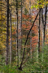 When a tree falls in the forest... (Rob Huntley Photography - Ottawa, Ontario, Canada) Tags: autumn colour tree fall forest photography photo woods community support falling photograph greens yellows reds huntley robhuntley robhuntleyphotography