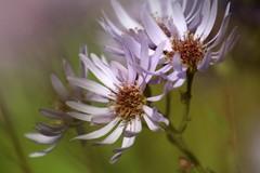 Wild (Read2me) Tags: flower wildflower bokeh dof white thechallengefactory herowinner superherochallengewinner pregamechallengewinner challengeyouwinner gamewinner twothumbsup 2thumbsup x2 challengeclubwinner bigmomma friendlychallenges x3 perpetualchallengewinner
