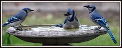 But Mom!  Dad!  All the kids wear their feathers this way! (Kaptured by Kala) Tags: blue bird nature water birds drops birdbath bluejay bathing kala soaking kalaking kapturedbykala