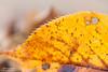 Late Autumn (Masahiko Futami) Tags: autumn brown macro nature water yellow japan canon leaf waterdrop asia soft photographer calm 日本 秋 自然 マクロ 黄色 葉 水滴 茶色 やさしい 柔らかい eos5dmarkiii