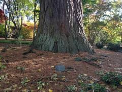Bodnant Gardens Sequoia Gigantea 1876 (tedesco57) Tags: wales garden sequoia bodnant gigantea