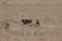 5D3_7066-Flickr (DocMac71) Tags: wild dog african afrikanischer wildhund