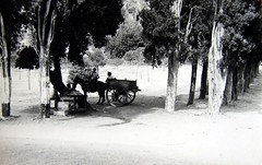 1958 - come eravamo - venditore di fichidindia alla favorita (molovate) Tags: streetphoto palermo carretto città venditore vecchiafoto alimenti lafavorita fotodistrada volate cibodistrada tafme molovate venditoredifichidindia