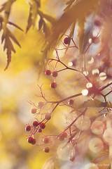 sambucus black lace berries (leavesnbloom photography by Rosie Nixon) Tags: november fruit berries perthshire perth gardenplants seasonalinterest sambucusblacklace leavesnbloom rosienixon