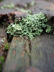 Lichen (amanda1470) Tags: uk winter green lichen westyorkshire chevinotley