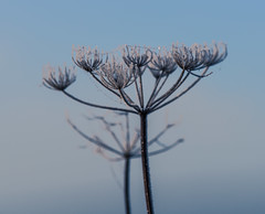 _DSC5180.jpg (Ingeborg Ruyken) Tags: morning autumn mist flower ice dawn flickr frost december herfst nederland thenetherlands ochtend facebook bloem noordbrabant ijs vorst floodplain empel zonsopkomst natuurfotografie riverforeland maasuiterwaarden catflowersandplants caticeicebaby