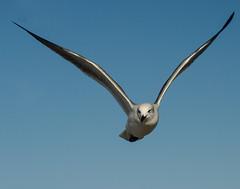 Seagull (awsheffield) Tags: seagulls galveston beach pelicans birds fog opera operahouse galvestontexas foggybeach galvestonbeach dellanera galveston2013 dellanerarvpark galveston1894grandoperahouse