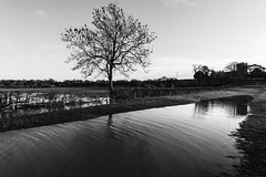 Solitary (David Allen's Photostream) Tags: blackandwhite tree water monochrome mono miltonkeynes flood holytrinity wolverton