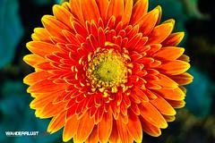 _MG_1647.jpg (hughderr) Tags: travel pink flowers orange green floral beautiful yellow closeup garden countryside rainbow colorful flickr bright country vietnam adventure greenhouse gerbera plantation daisy dalat gerber easyrider natgeo wanderrlust