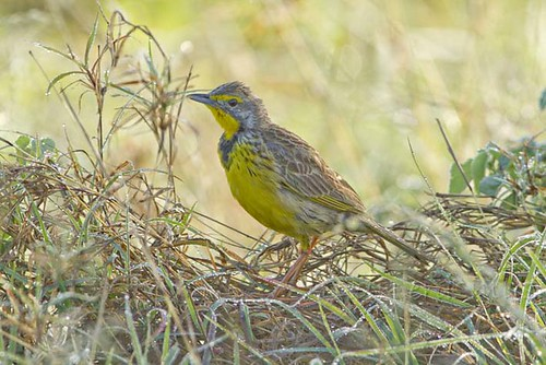 Yellow-Throated Longclaw in the  dew_9785