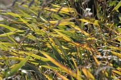 Sunlit leaves (Cefn Ila) Tags: leaves newport nash sunlit