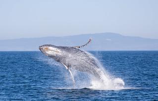Humpback Whale in California