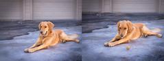 The one that got away (Montresaurus) Tags: dog ball puppy golden nikon f14 retriever tennis mm 50 d600
