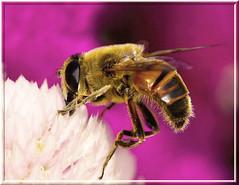 Summertime Work (Vidterry) Tags: bee handheld noelridgegarden