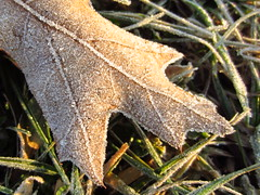 frost crystals on an oak leaf (Zombie37) Tags: winter brown cold detail texture nature leaves closeup leaf oak frost crystals january maryland frosty baltimore chill crunchy coated edges weeather