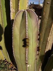 Promises of things to come (Distraction Limited) Tags: arizona cactus tucson entryway buds botanicalgardens fencepost flowerbuds tohonochulpark stenocereus cactusfence pachycereusmarginatus stenocereusmarginatus mexicanfencepost desertcorner