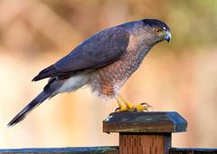 Cooper's Hawk (Peter Bangayan) Tags: nature hawk wildlife raptor 7d raptors tamronsp150600mmf563divcusd