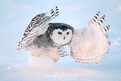 Afternoon Action (Megan Lorenz) Tags: winter wild snow ontario canada bird nature wildlife ottawa owl getty february avian birdofprey snowyowl 2014 mlorenz meganlorenz
