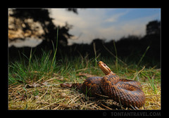 European Adder (Vipera berus) (tontantravel) Tags: european adder vipera berus
